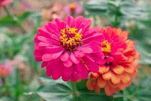 fiore di zinnia