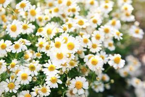 fiori margherita