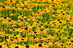 fiori di rudbekia foto