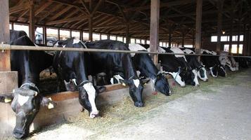 vacche da latte foto