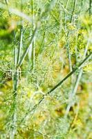 gocce di pioggia su erbe di aneto in giardino foto