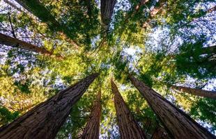 monumento nazionale dei boschi di muir foto