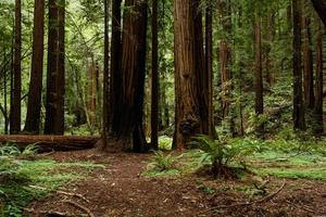 percorso attraverso alberi di sequoia costiera muir woods monumento nazionale foto