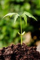 pianta di neem foto