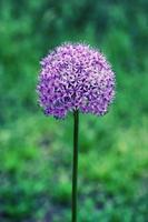 fiore di cipolla gigante da vicino foto