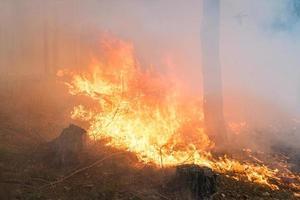 incendio forestale. grande fiamma