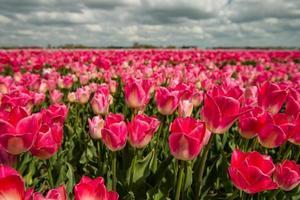 cultura del tulipano, Paesi Bassi foto