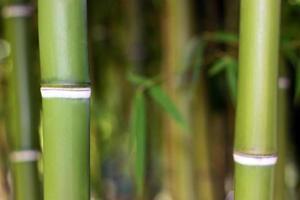 giovane sfondo di bambù verde
