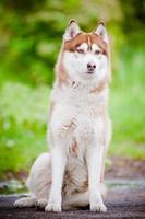 bellissimo ritratto di husky siberiano all'aperto foto