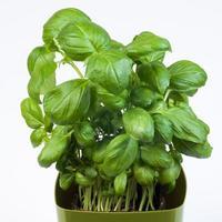 pianta di basilico in vaso foto