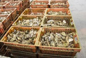 colture di ostriche nel posto olandese yerseke foto