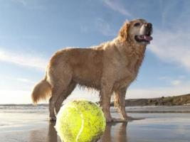 cane che gode della spiaggia e palla da tennis a gerrans bay