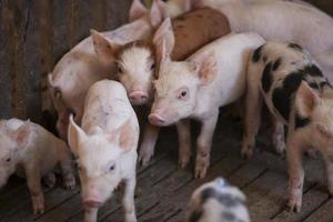 maiali nella fattoria foto