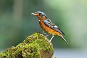 uccello dalla gola bianca foto