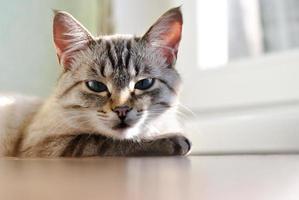 bellissimo gatto con gli occhi azzurri foto