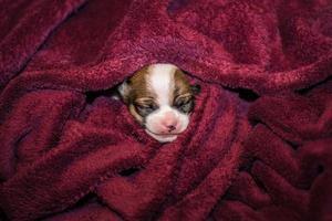 sorridente piccolo cucciolo di chihuahua avvolto in una coperta foto
