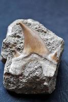 dente di squalo fossile foto