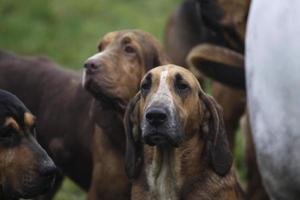 hounds tradizionale incontro di caccia alla volpe inglese foto