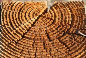 anelli di albero increspati alla luce solare dorata foto