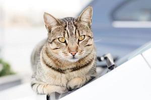 gatto sulla macchina foto