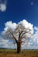 albero africano foto