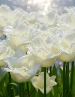 tulipani bianchi foto