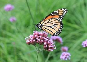 farfalla tra l'erba foto