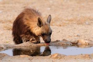 hyaena marrone che beve foto