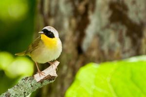 gola gialla comune foto