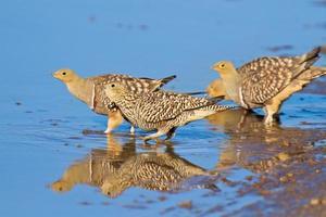 namaqua sandgrouse acqua potabile foto