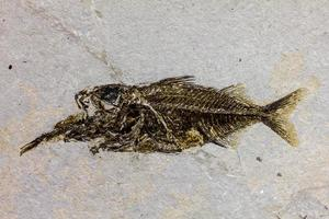 pesci fossili foto