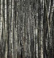 boschetto di betulle, sfondo naturale