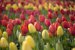 tulipani rossi e gialli foto