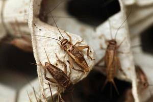 cricket di casa (acheta domestica). foto