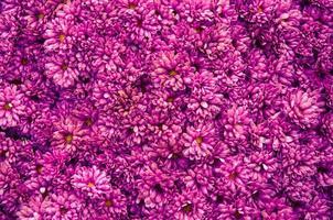 sfondo di crisantemo