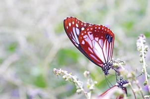 la farfalla sta bevendo cibo foto