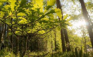 pianta di quercia con sfondo luminoso soleggiato