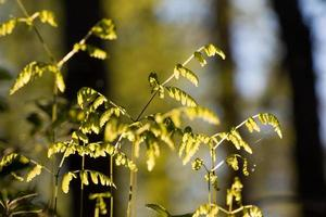 giovani foglie di felce con retroilluminazione