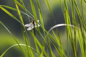 libellula retroilluminata su canne verdi.
