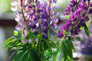 lupini viola in vaso di vetro foto