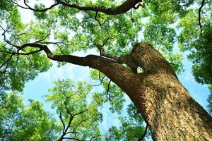 osserva gli alberi di canfora dalle foglie lussureggianti foto