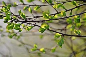 giovane verde morbido in primavera foto