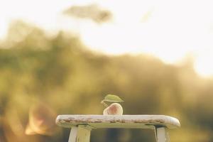 mela di fattoria foto