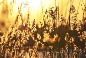 bulbush nella calda luce del tramonto