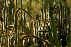 candele di cactus foto