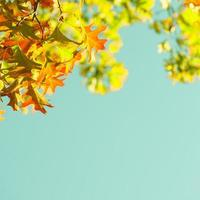 cornice di foglie di acero