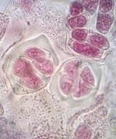 cellule sane viventi (mitosi) foto