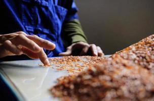 contadino selezionare riso foto