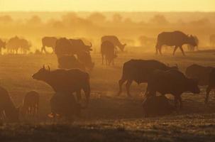 bufalo del capo (syncerus caffer) che pasce sulla savana al tramonto