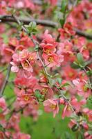 ramo di mela cotogna giapponese - fioritura
